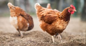 <i>Salmonella</i> Risk Linked with Backyard Chickens
