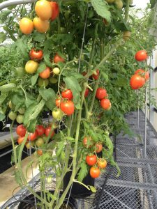 Breeding Taste Back into Tomatoes
