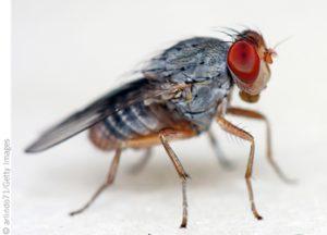 Study: Fruit Flies Can Spread Foodborne Pathogens