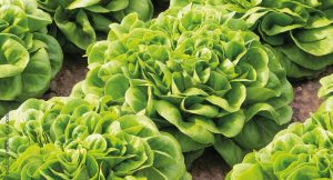 FDA Weighing Risk, Traceability Rules for Leafy Greens
