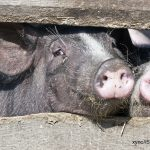 animal housing, pigs