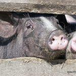 animal housing, pigs