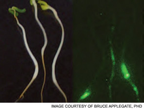 Both images show plants grown in an agar substrate with a bioluminescent E. coli that emits light when active. The E. coli associated with the roots are glowing (right) when viewed in the dark.