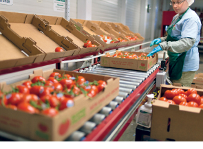 Attentiveness is Key to Quality Tomatoes at Backyard Farms